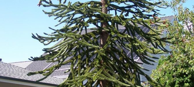 Make a Monkey Puzzle out of Me