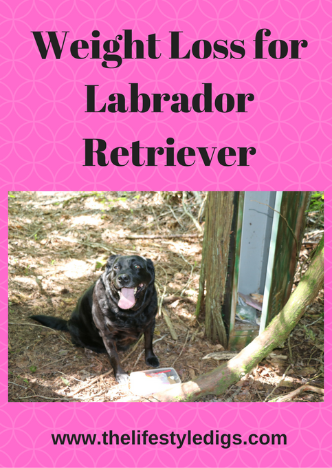 Weight Loss for Labrador Retriever