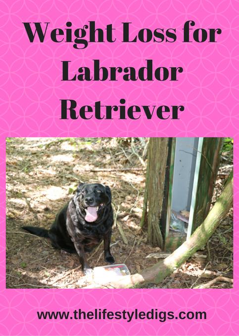 Weight Loss for Labrador Retriever